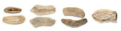 Ensemble de six poissons fossiles de Madagascar...