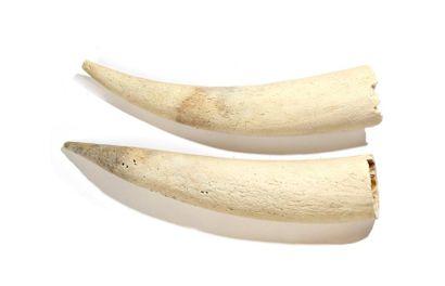Belles paires de dents fossilisées de morse...