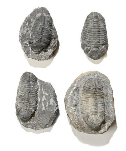Ensemble de quatre fossiles de trilobites...