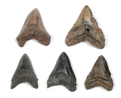 Lot de cinq dents de requin géant carcharodon...