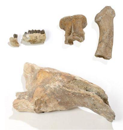 Partie de mâchoire de rhinocéros fossile...