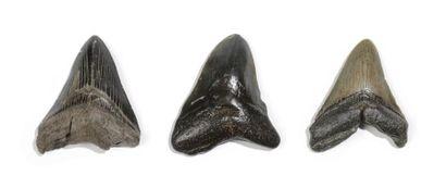 Lot de trois dents de requin géant carcharodon...