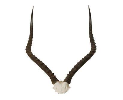 Gazelle impala de l'est (Aepyceros melampus rendilis) (CH): frontal avec belle confi...