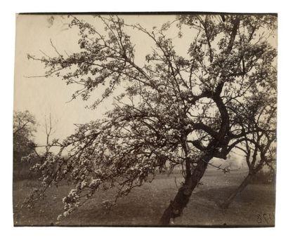Eugène ATGET (Libourne 1857-Paris 1927) arbre Fleurs 1178 Vers 1922