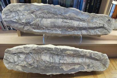 Grand poisson fossile, 110 millions d'années....