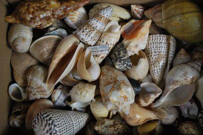 Ensemble de coquillages dont : strombe bahamas...