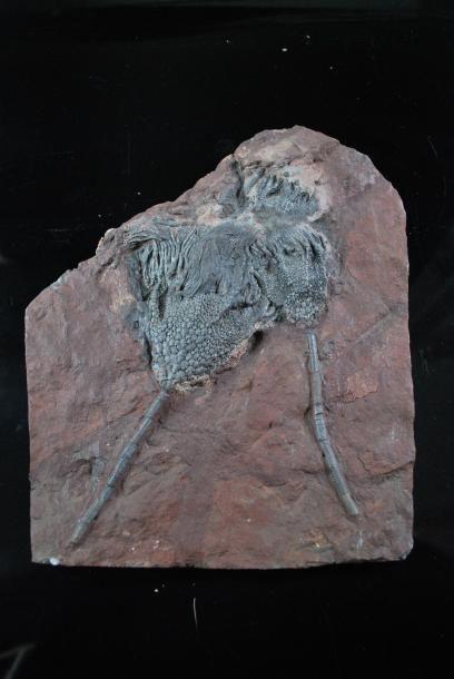 Plaque de crinoide fossilisée (lys des mers)....