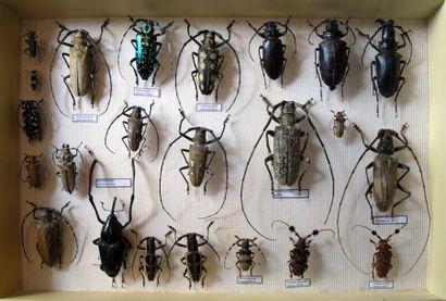 Cérambycides (Scarabaeoides divers) Une...