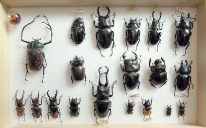 Lucanides (Scarabaeoides divers) Une boîte...
