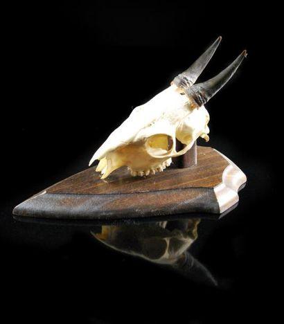 Petite antilope (Cephalophus sp?) Crâne...