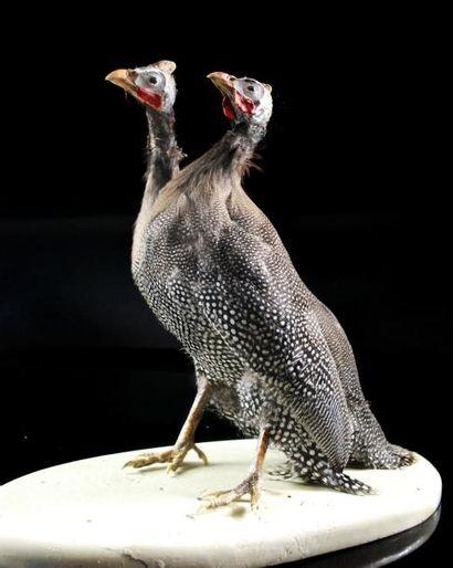 Pintade bicéphale (Numididae sp.) Taxidermie...