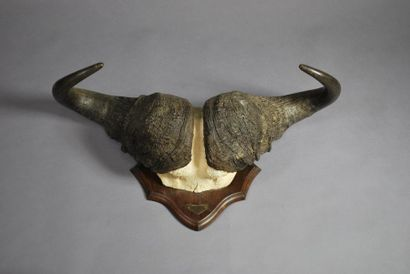 Trophée frontal de buffle cafre (Syncerus...