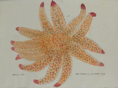 Aloys ZÖTL (1803-1887) Etoile de mer Aquarelle et encre grise sur trait de crayon...