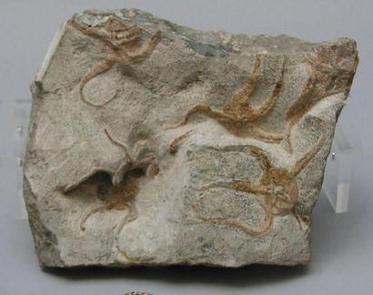FRAGMENT de roche comportant cinq fossiles...