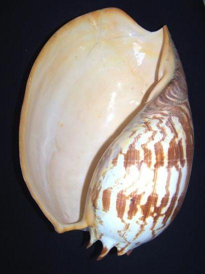 Important COQUILLAGE géant, Mélo Amphora....