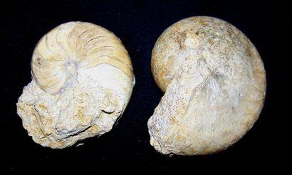 Lot de DEUX NAUTILOÏDES fossiles, Région...