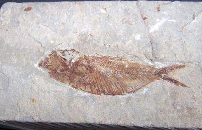 Lot: POISSON fossile sur plaque. Liban. L:...