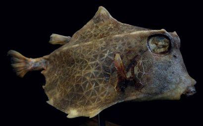 CAW FISH - Poisson vache cornu «Lactoria...