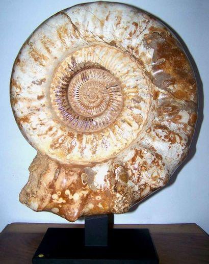 Grand spécimen D'AMMONITE Cranosphinctes,...