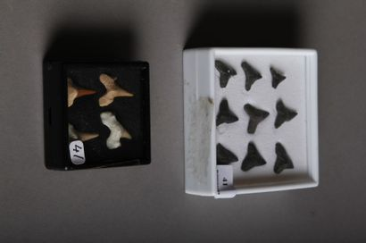 Lot: QUATRE DENTS de bébé requin fossilisées...