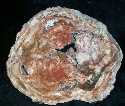 TRANCHE D'ARAUCARIA fossile avec de belles...