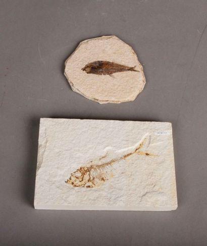 Lot de fossiles de poissons: un knightia...