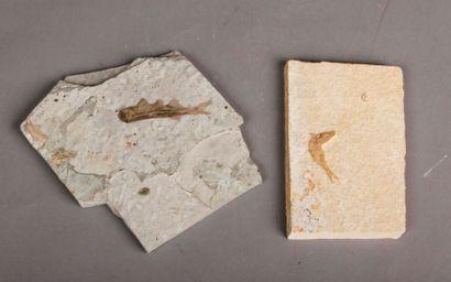 Lot de fossiles de poissons: un lepti lepides...