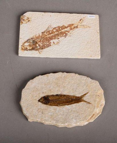 Lot de fossiles de poissons: deux knight...