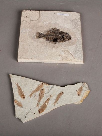 Lot de fossiles de poissons: Priscacapa et...
