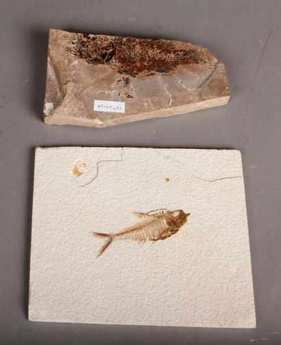 Lot de fossiles de poissons: kwightia et...
