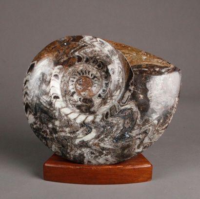 Ammonite fossilisée marbrée polychrome à...