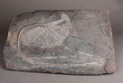Importante plaque fossilisée de «Lys de mer»...
