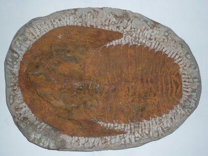 TRILOBITE Andalousiana fossilisé du Cambrien...