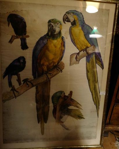 Alfred SELIG (1907-1974) : Etude de perroquet....