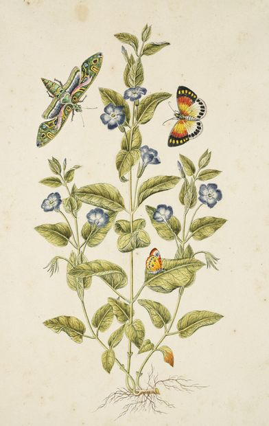 GIO ANTONIO BOTTIONE Grandes pervenches (Pervinca Major) et trois papillons Aquarelle...