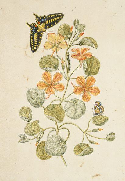GIO ANTONIO BOTTIONE Capucines (Tropeolum Minus) chenille et papillons Aquarelle...