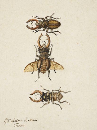 GIO ANTONIO BOTTIONE Coléoptères Lamellicornes Aquarelle sur traits de crayon signée...
