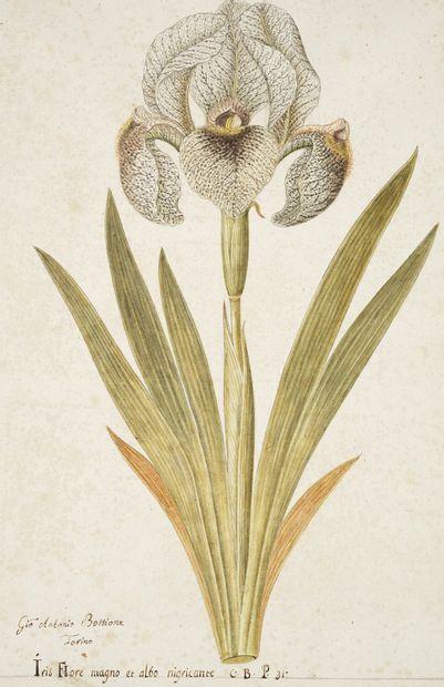 GIO ANTONIO BOTTIONE Iris flore magno Aquarelle sur traits de crayon signée en bas...