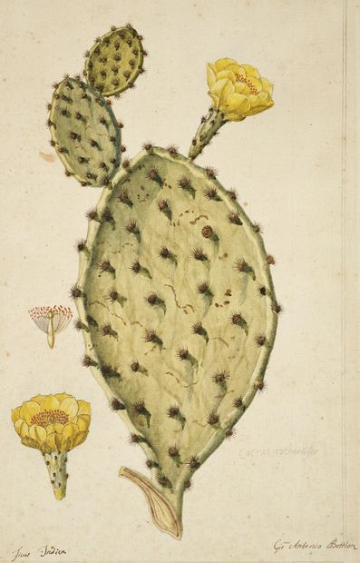 GIO ANTONIO BOTTIONE Prickly Pear (Ficus Indica) Watercolour on pencil lines signed...