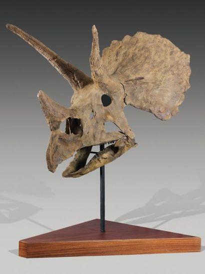 Très bel exemple de crâne de Triceratops...