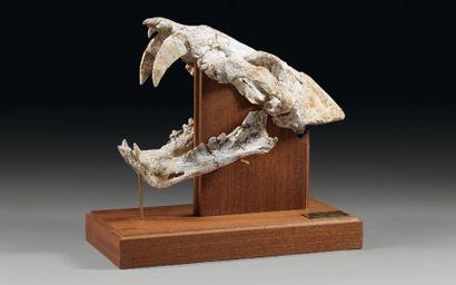 Crâne de Tigre à dents de sabre Homotherium...