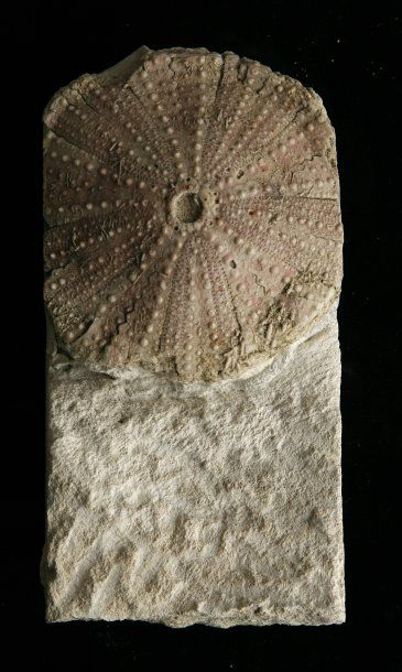 Tripneuste Pakinsoni - Miocène- Lacoste,Vaucluse....