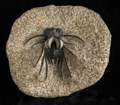 Dicranurus sp. - Ordovicien- Sud Maroc -...