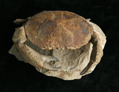 Harpactocarcinus Quadrilobatus - Eocène -...