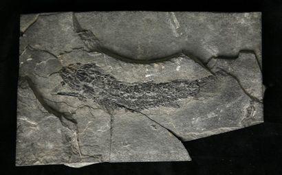 Lot de poissons de l'ère primaire - Paleoniscus...