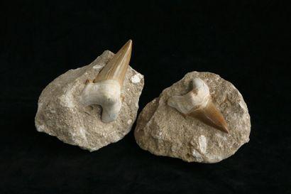 Deux Harpactocarcinus - Eocène - Vicensa...
