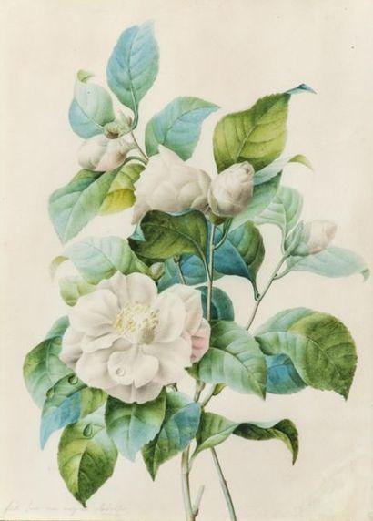 Elève de Pierre-Joseph REDOUTE (1759-1840)...