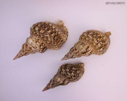 Gros Coquillages :  8 spécimens, espèces...