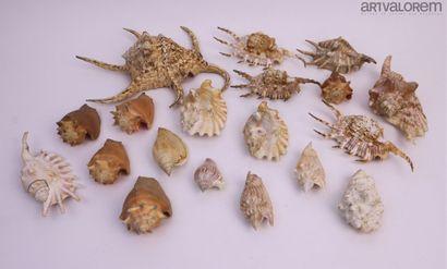 Coquilles nacrées  Lot de plus de 16 spécimens...