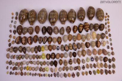 Cypraeidae :  Très bel ensemble varié de...